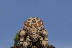 Spinnenbrut